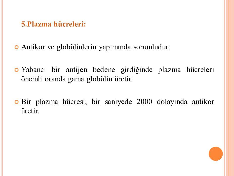 5.Plazma hücreleri: Antikor ve globülinlerin yapımında sorumludur.