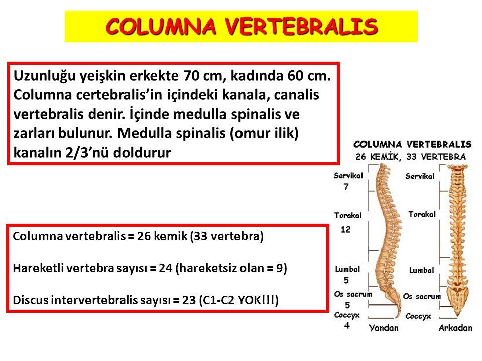COLUMNA VERTEBRALIS Uzunluğu yeişkin erkekte 70 cm, kadında 60 cm.