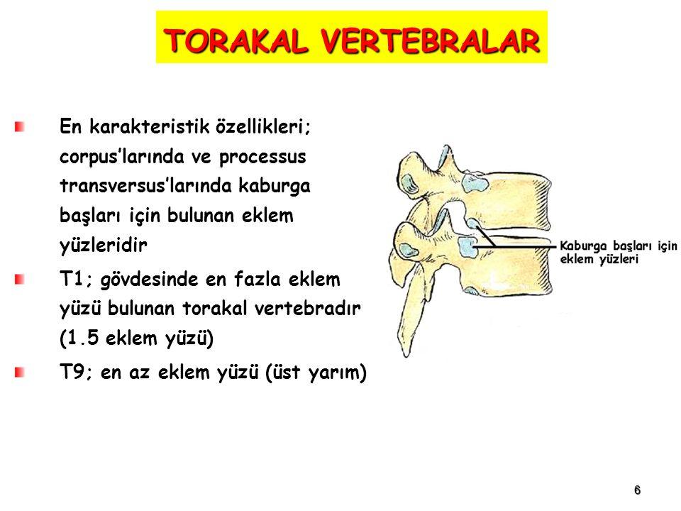 TORAKAL VERTEBRALAR En karakteristik özellikleri; corpus'larında ve processus transversus'larında kaburga başları için bulunan eklem yüzleridir.