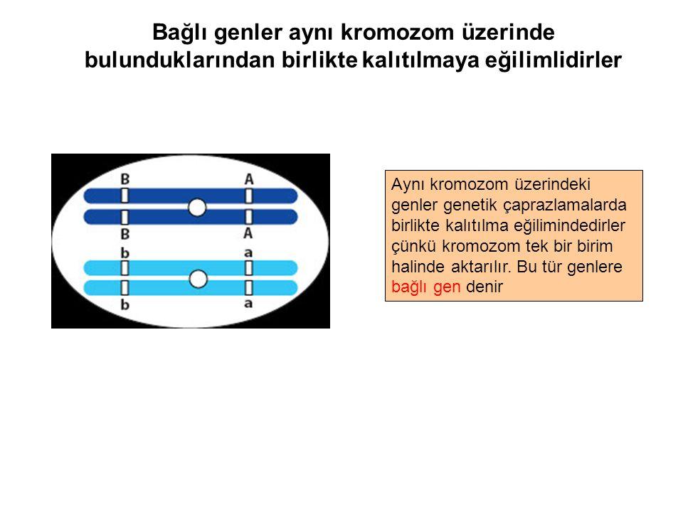 Bağlı genler aynı kromozom üzerinde bulunduklarından birlikte kalıtılmaya eğilimlidirler