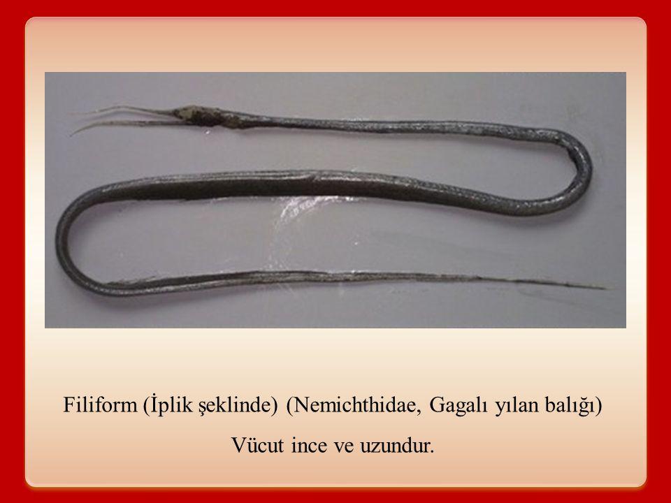 Filiform (İplik şeklinde) (Nemichthidae, Gagalı yılan balığı)