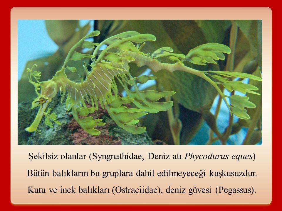 Şekilsiz olanlar (Syngnathidae, Deniz atı Phycodurus eques)