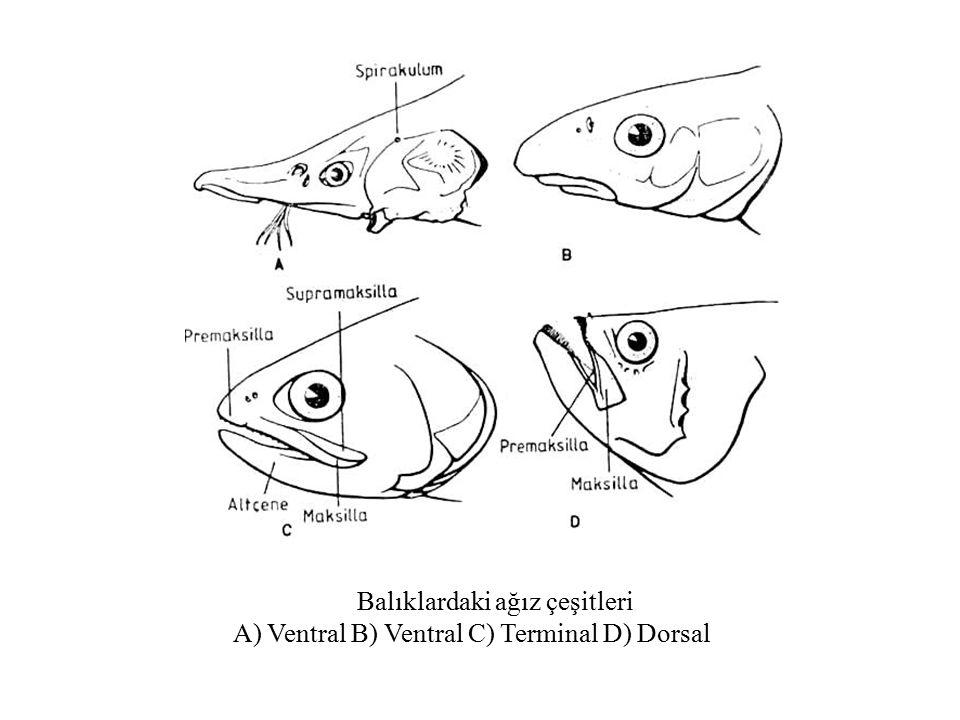 Balıklardaki ağız çeşitleri