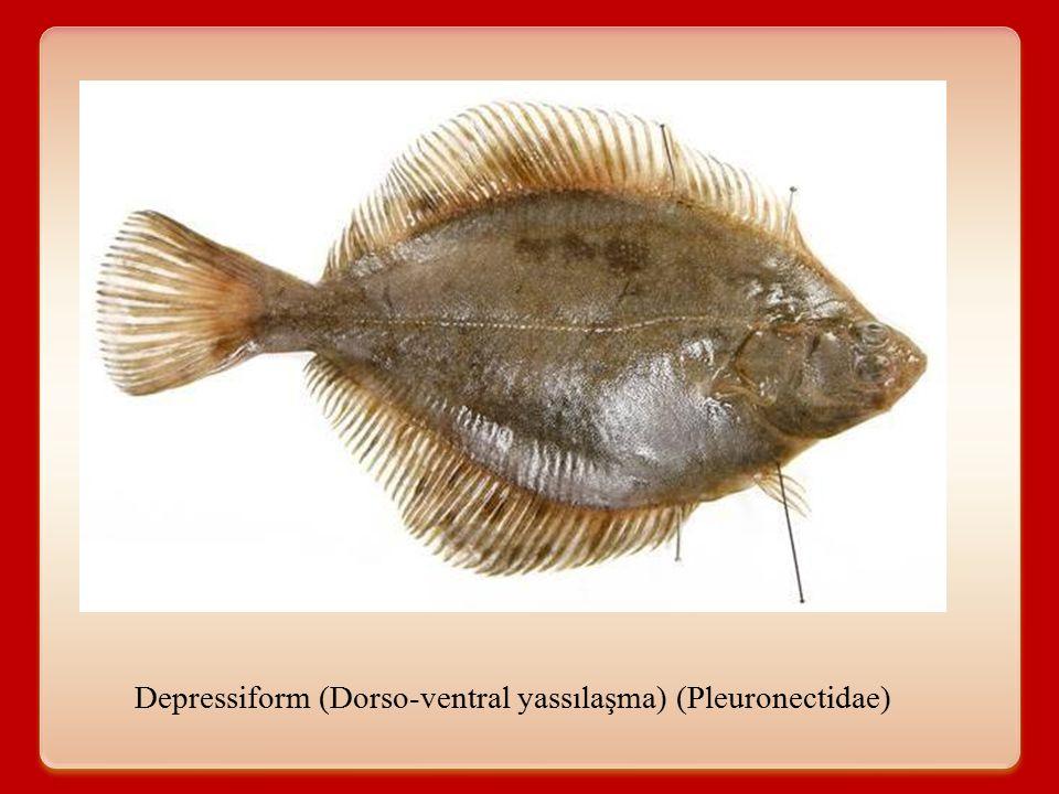 Depressiform (Dorso-ventral yassılaşma) (Pleuronectidae)