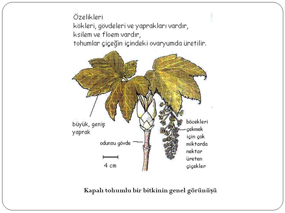 Kapalı tohumlu bir bitkinin genel görünüşü