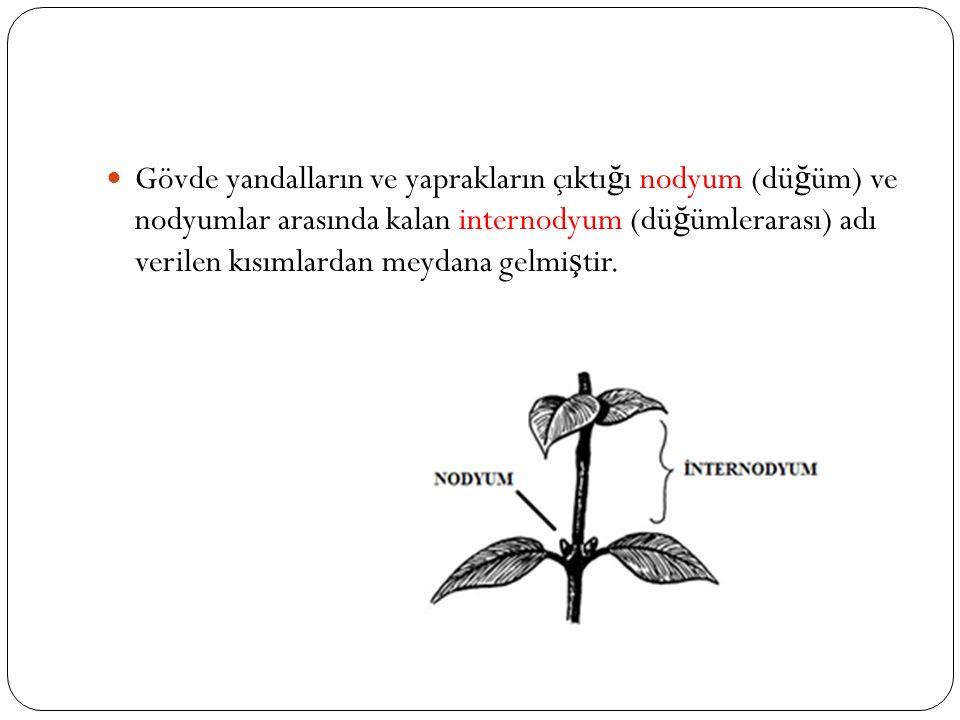 Gövde yandalların ve yaprakların çıktığı nodyum (düğüm) ve nodyumlar arasında kalan internodyum (düğümlerarası) adı verilen kısımlardan meydana gelmiştir.