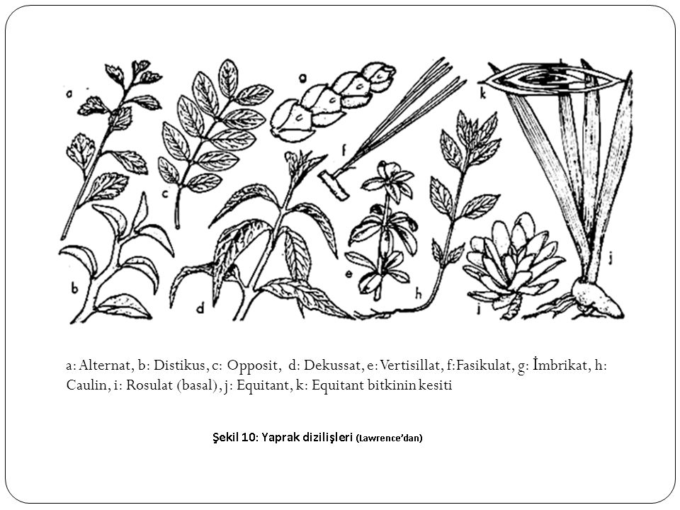 a: Alternat, b: Distikus, c: Opposit, d: Dekussat, e: Vertisillat, f:Fasikulat, g: İmbrikat, h: Caulin, i: Rosulat (basal), j: Equitant, k: Equitant bitkinin kesiti