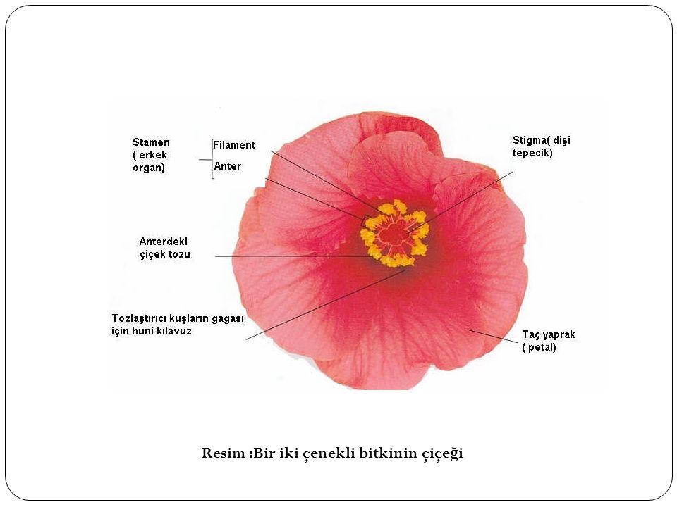 Resim :Bir iki çenekli bitkinin çiçeği