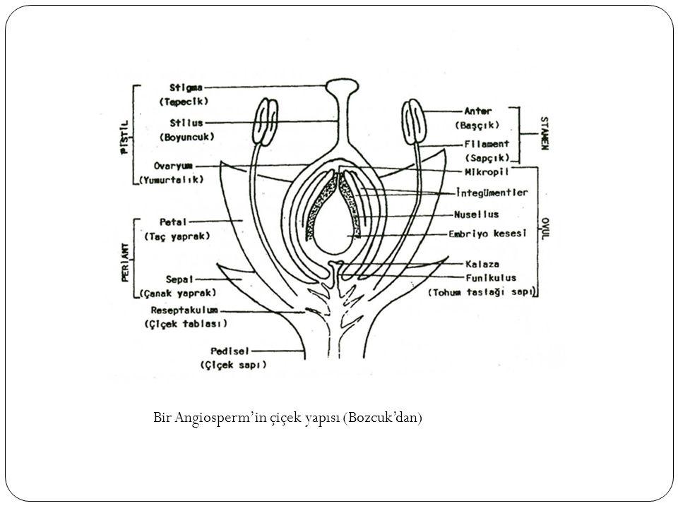 Bir Angiosperm'in çiçek yapısı (Bozcuk'dan)