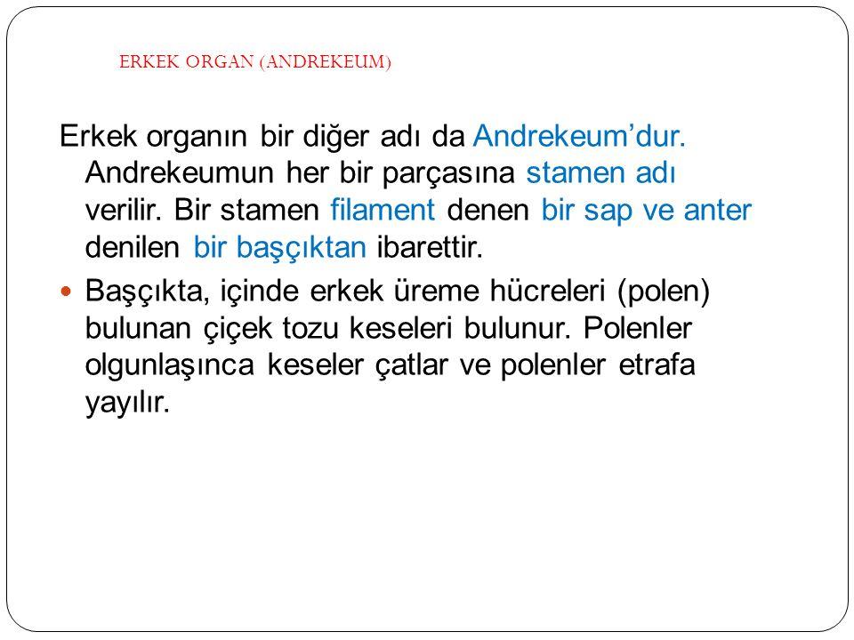 ERKEK ORGAN (ANDREKEUM)