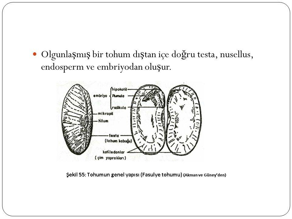 Olgunlaşmış bir tohum dıştan içe doğru testa, nusellus, endosperm ve embriyodan oluşur.
