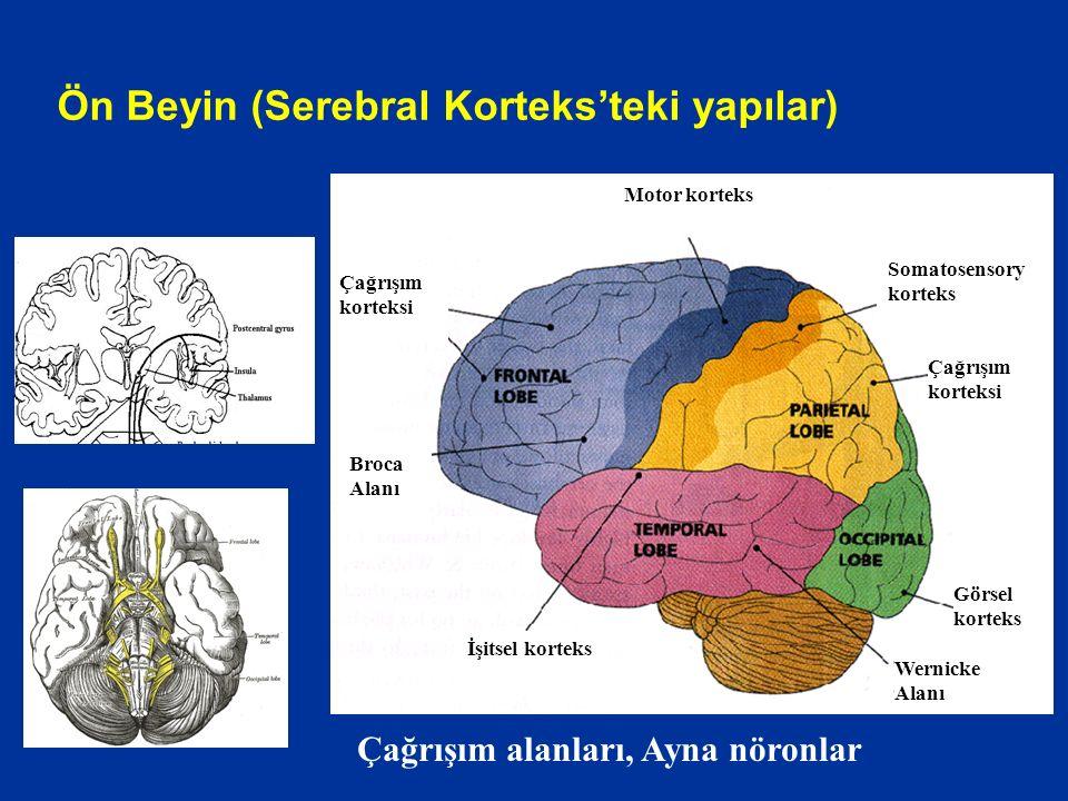 Ön Beyin (Serebral Korteks'teki yapılar)