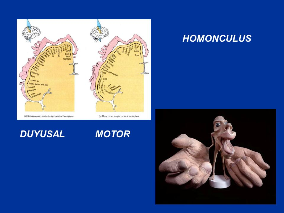 HOMONCULUS DUYUSAL MOTOR