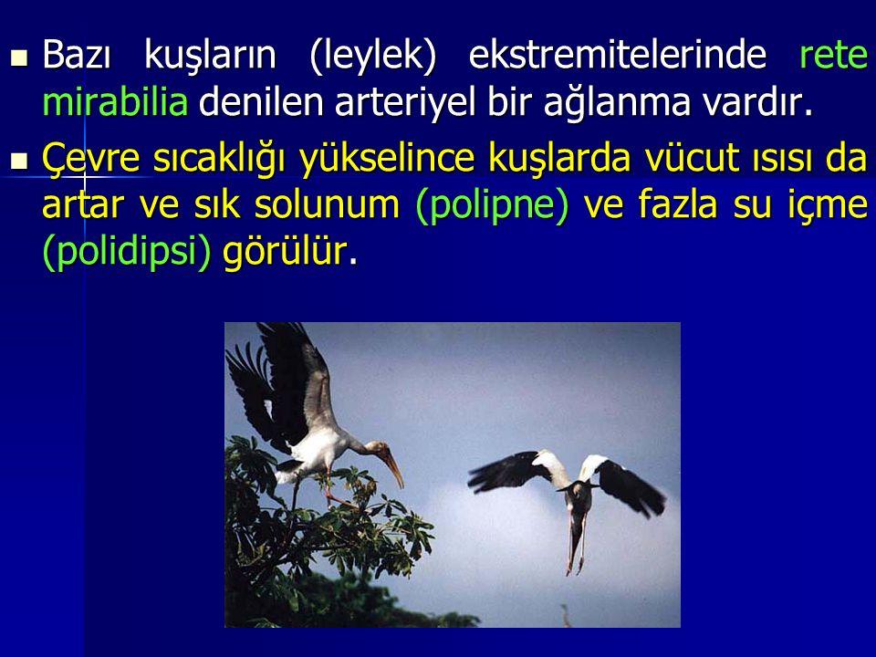 Bazı kuşların (leylek) ekstremitelerinde rete mirabilia denilen arteriyel bir ağlanma vardır.