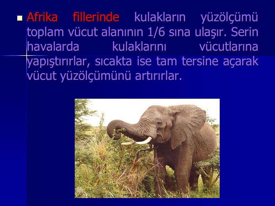 Afrika fillerinde kulakların yüzölçümü toplam vücut alanının 1/6 sına ulaşır.