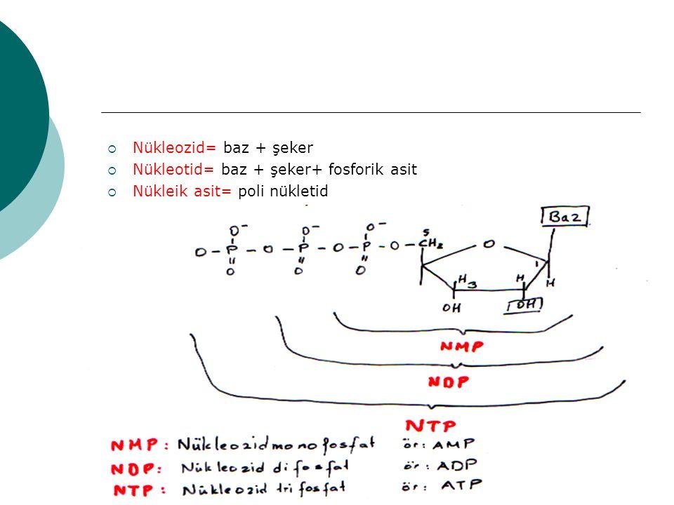Nükleozid= baz + şeker Nükleotid= baz + şeker+ fosforik asit Nükleik asit= poli nükletid