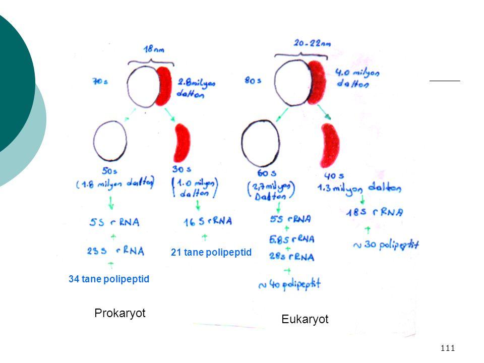 21 tane polipeptid 34 tane polipeptid Prokaryot Eukaryot