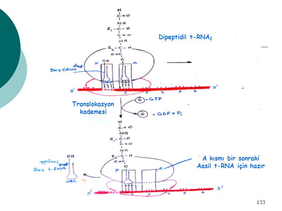 Dipeptidil t-RNA2 Translokasyon kademesi A kısmı bir sonraki Aasil t-RNA için hazır