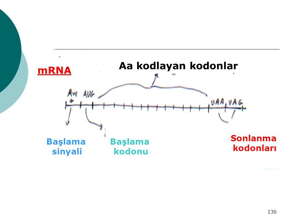 mRNA Aa kodlayan kodonlar
