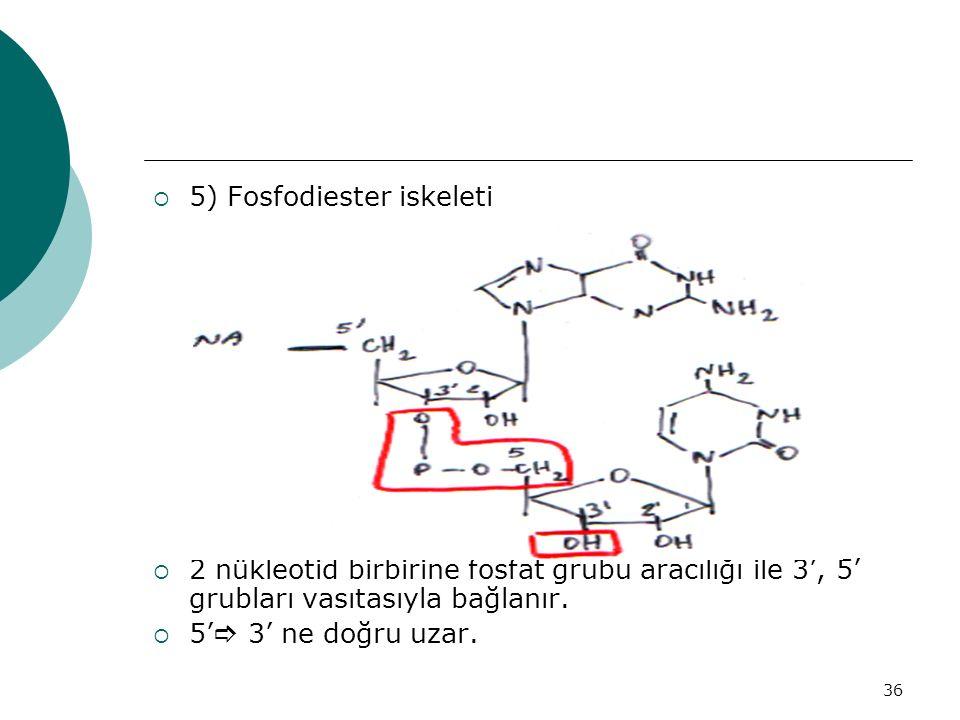 5) Fosfodiester iskeleti