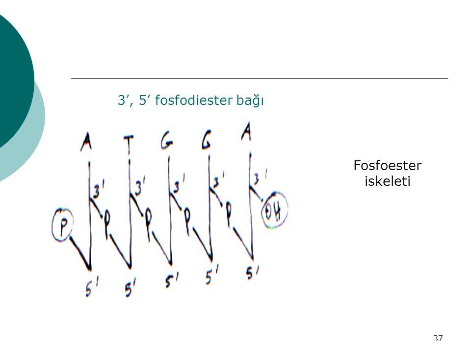 3', 5' fosfodiester bağı Fosfoester iskeleti