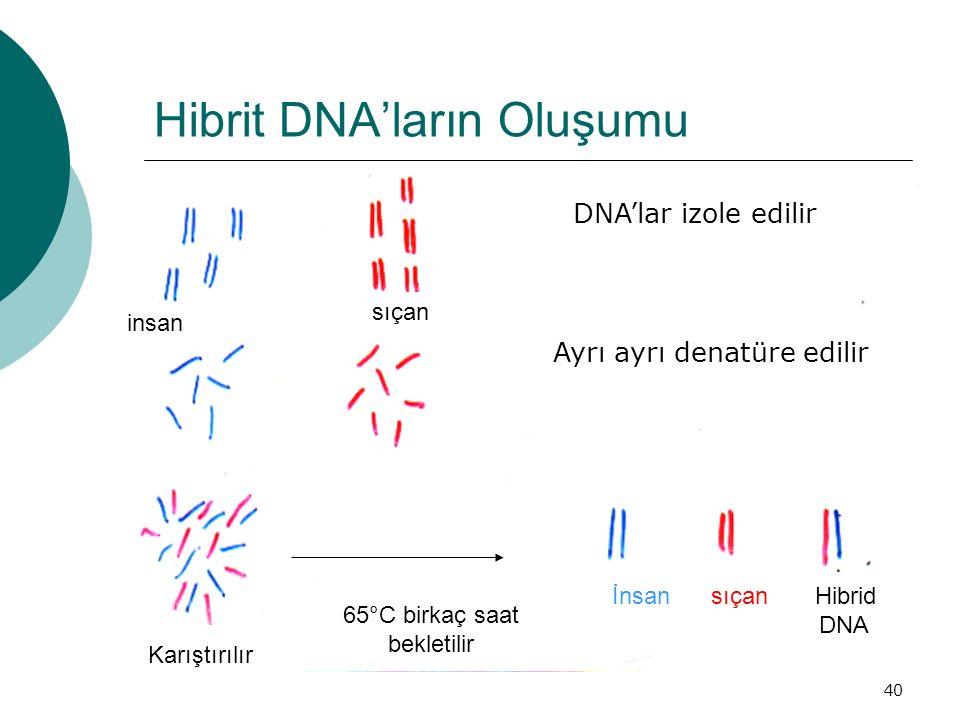 Hibrit DNA'ların Oluşumu
