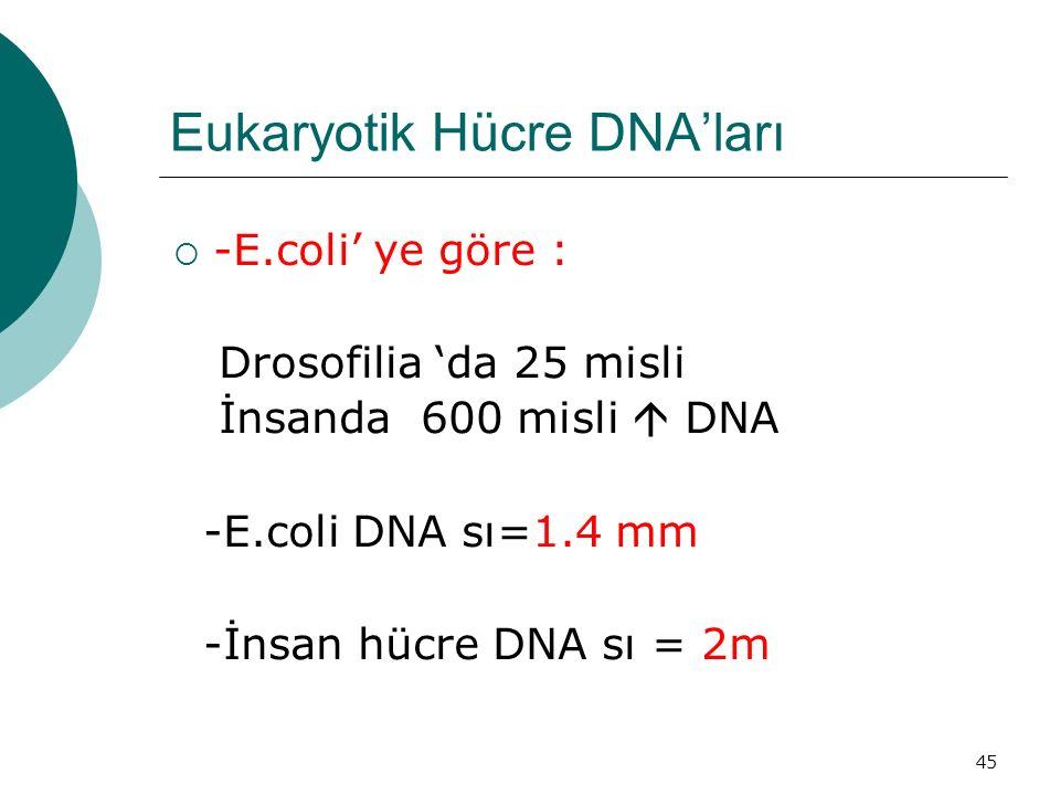Eukaryotik Hücre DNA'ları