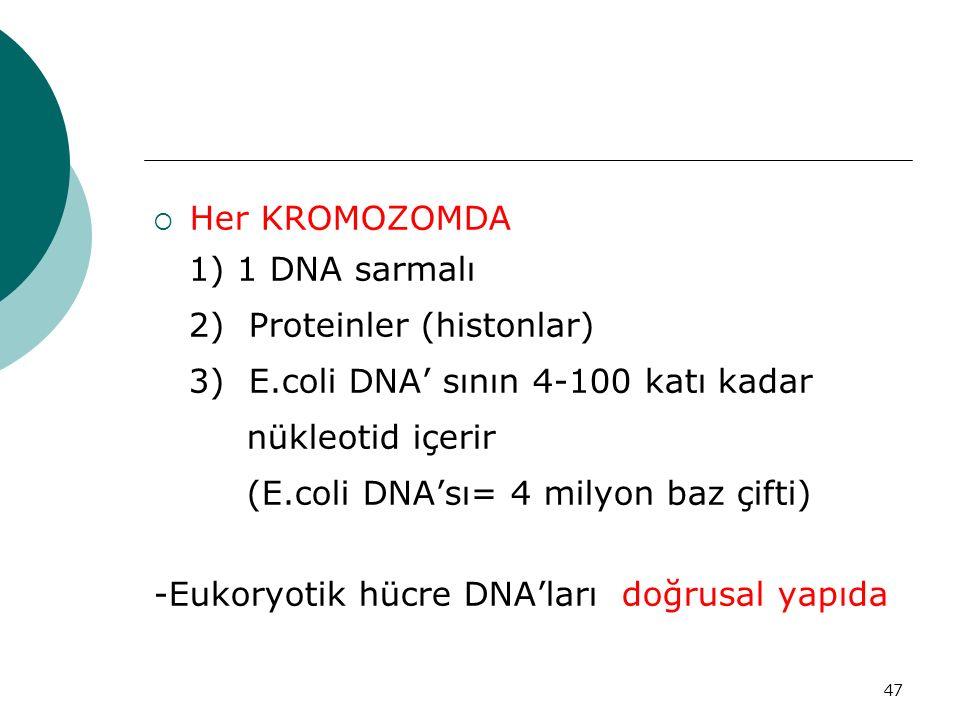 Her KROMOZOMDA 1) 1 DNA sarmalı. 2) Proteinler (histonlar) 3) E.coli DNA' sının 4-100 katı kadar.