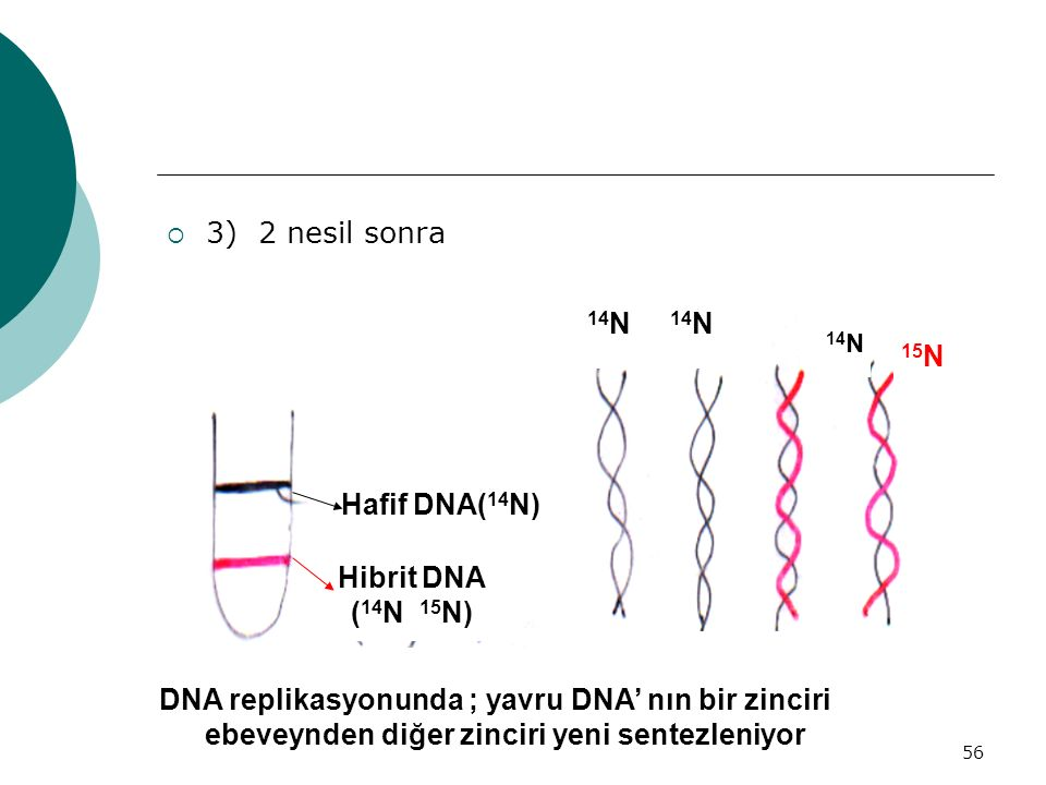 DNA replikasyonunda ; yavru DNA' nın bir zinciri