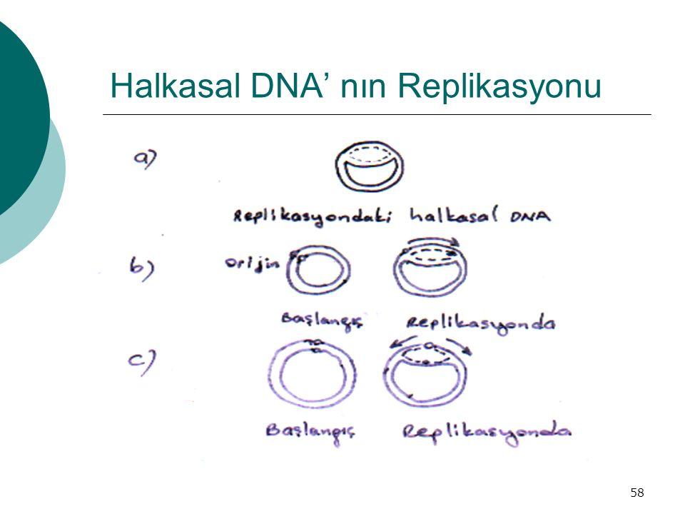 Halkasal DNA' nın Replikasyonu