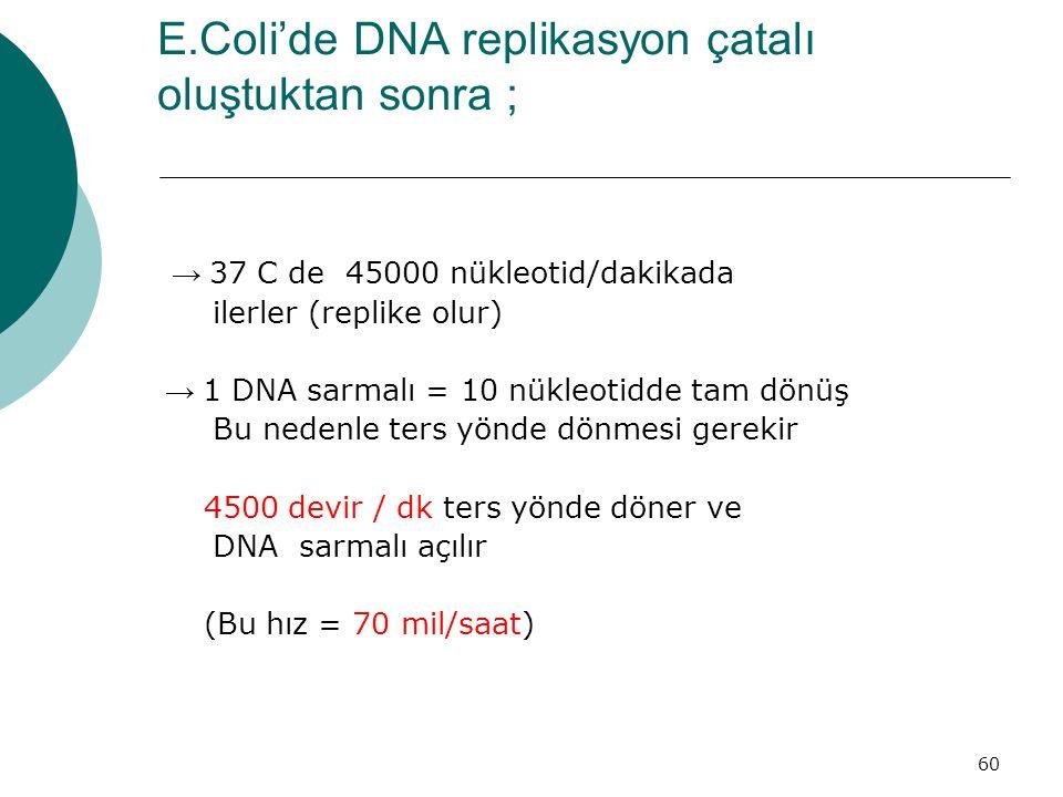 E.Coli'de DNA replikasyon çatalı oluştuktan sonra ;
