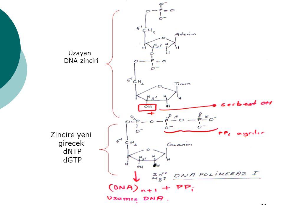 Uzayan DNA zinciri Zincire yeni girecek dNTP dGTP