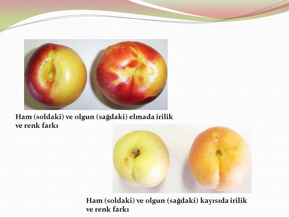 Ham (soldaki) ve olgun (sağdaki) elmada irilik