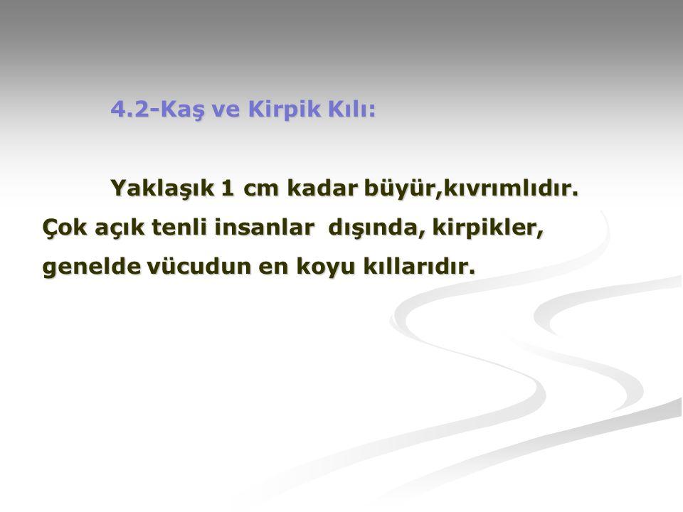 4. 2-Kaş ve Kirpik Kılı:. Yaklaşık 1 cm kadar büyür,kıvrımlıdır