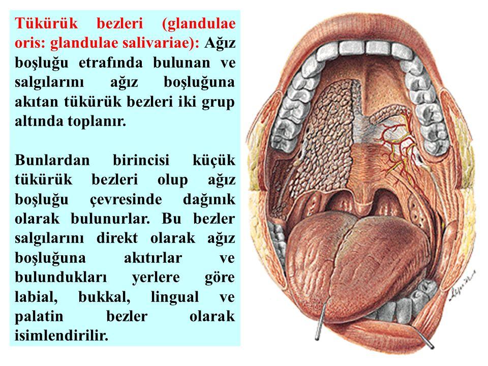 Tükürük bezleri (glandulae oris: glandulae salivariae): Ağız boşluğu etrafında bulunan ve salgılarını ağız boşluğuna akıtan tükürük bezleri iki grup altında toplanır.