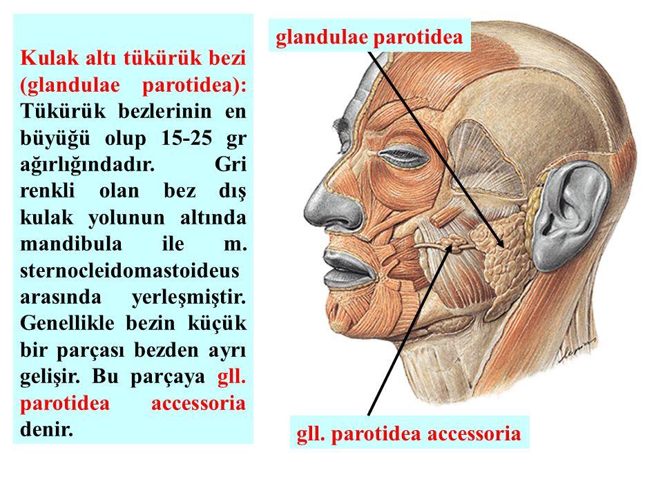 Kulak altı tükürük bezi (glandulae parotidea): Tükürük bezlerinin en büyüğü olup 15-25 gr ağırlığındadır. Gri renkli olan bez dış kulak yolunun altında mandibula ile m. sternocleidomastoideus arasında yerleşmiştir. Genellikle bezin küçük bir parçası bezden ayrı gelişir. Bu parçaya gll. parotidea accessoria denir.