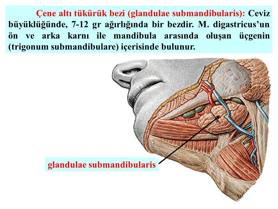 Çene altı tükürük bezi (glandulae submandibularis): Ceviz büyüklüğünde, 7-12 gr ağırlığında bir bezdir. M. digastricus'un ön ve arka karnı ile mandibula arasında oluşan üçgenin (trigonum submandibulare) içerisinde bulunur.