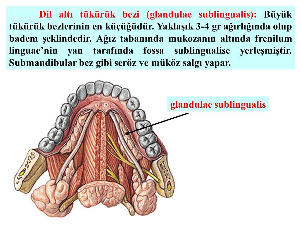 Dil altı tükürük bezi (glandulae sublingualis): Büyük tükürük bezlerinin en küçüğüdür. Yaklaşık 3-4 gr ağırlığında olup badem şeklindedir. Ağız tabanında mukozanın altında frenilum linguae'nin yan tarafında fossa sublingualise yerleşmiştir. Submandibular bez gibi seröz ve müköz salgı yapar.