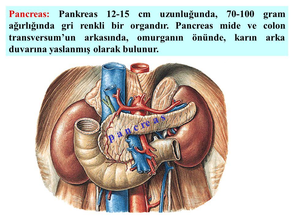 Pancreas: Pankreas 12-15 cm uzunluğunda, 70-100 gram ağırlığında gri renkli bir organdır. Pancreas mide ve colon transversum'un arkasında, omurganın önünde, karın arka duvarına yaslanmış olarak bulunur.