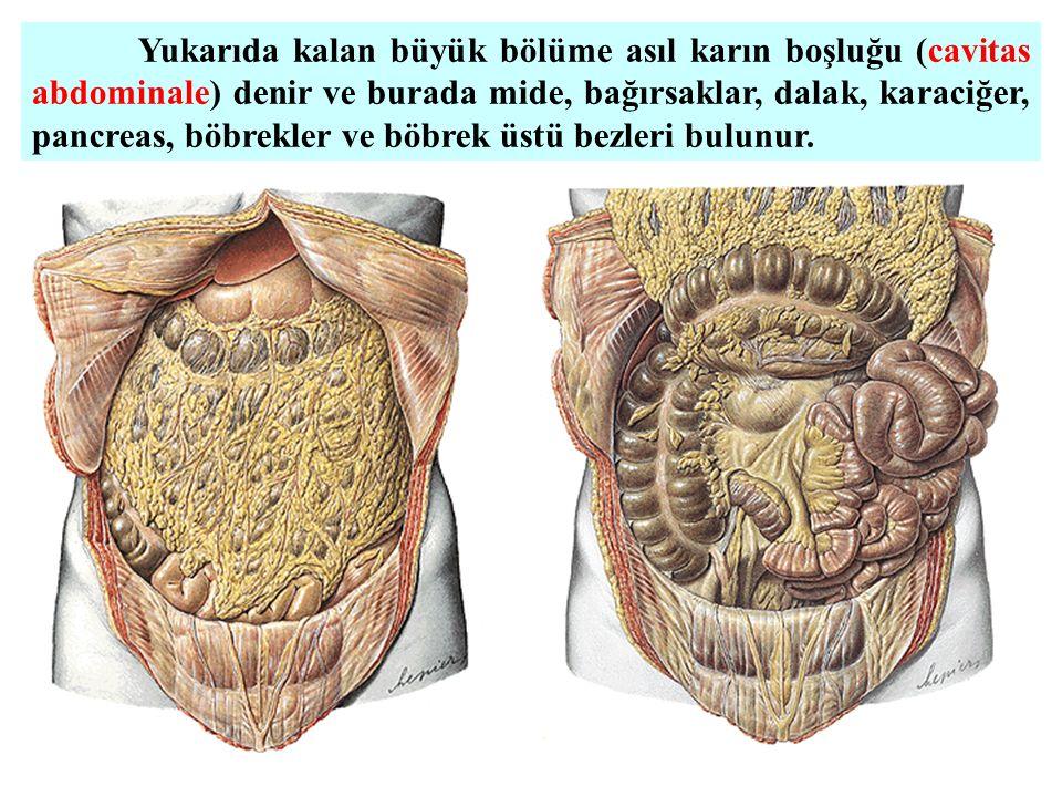 Yukarıda kalan büyük bölüme asıl karın boşluğu (cavitas abdominale) denir ve burada mide, bağırsaklar, dalak, karaciğer, pancreas, böbrekler ve böbrek üstü bezleri bulunur.