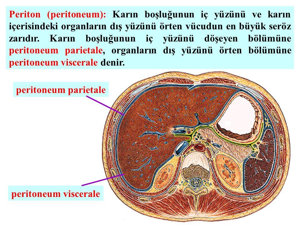 Periton (peritoneum): Karın boşluğunun iç yüzünü ve karın içerisindeki organların dış yüzünü örten vücudun en büyük seröz zarıdır. Karın boşluğunun iç yüzünü döşeyen bölümüne peritoneum parietale, organların dış yüzünü örten bölümüne peritoneum viscerale denir.