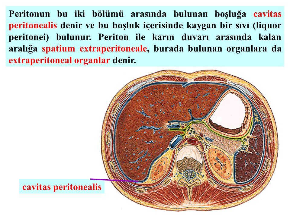 Peritonun bu iki bölümü arasında bulunan boşluğa cavitas peritonealis denir ve bu boşluk içerisinde kaygan bir sıvı (liquor peritonei) bulunur. Periton ile karın duvarı arasında kalan aralığa spatium extraperitoneale, burada bulunan organlara da extraperitoneal organlar denir.