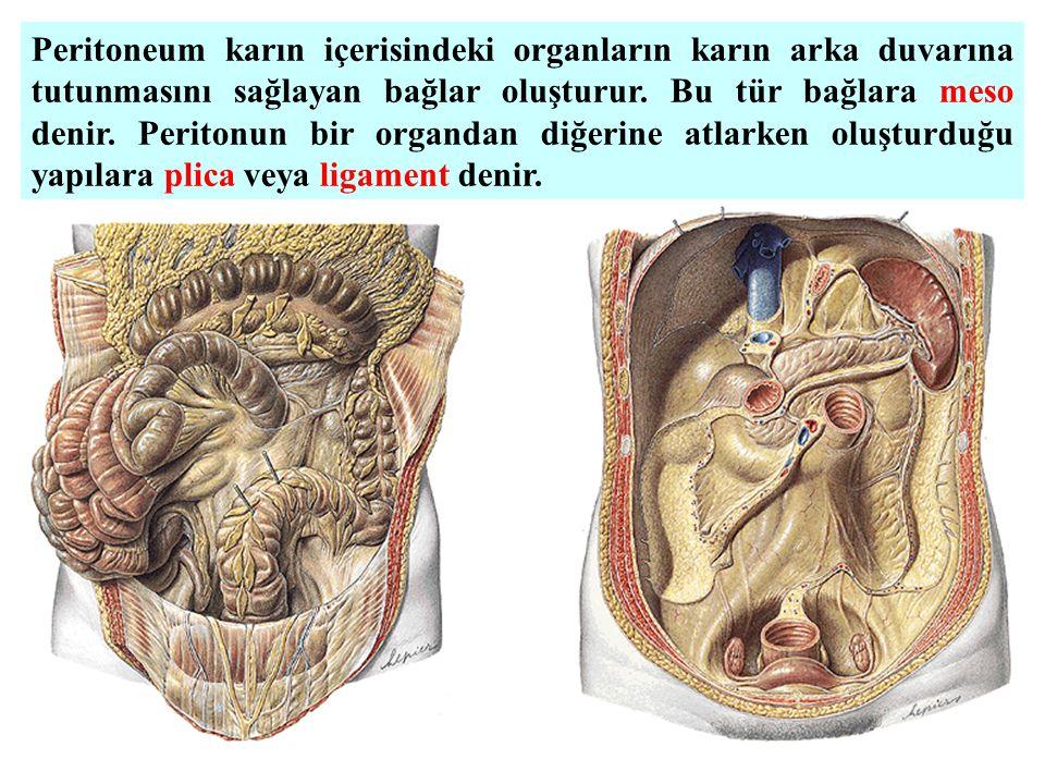 Peritoneum karın içerisindeki organların karın arka duvarına tutunmasını sağlayan bağlar oluşturur.