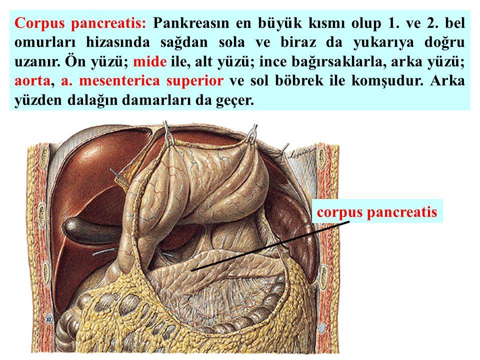 Corpus pancreatis: Pankreasın en büyük kısmı olup 1. ve 2
