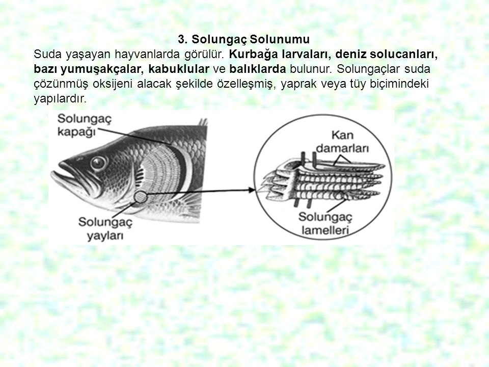 3. Solungaç Solunumu