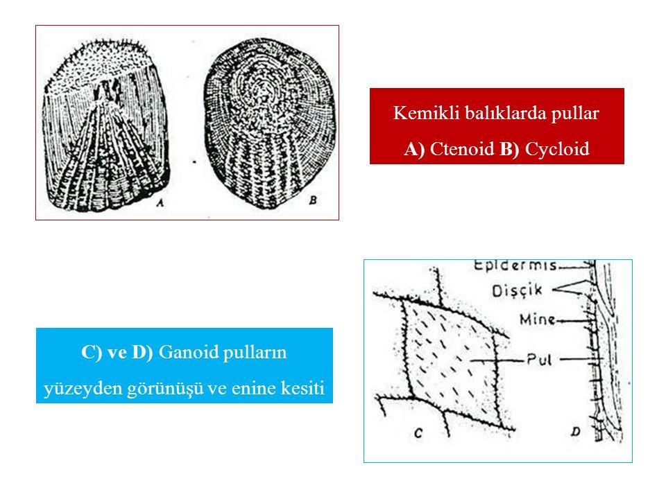 Kemikli balıklarda pullar A) Ctenoid B) Cycloid