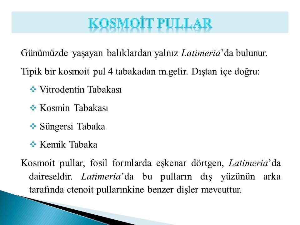 KOSMOİT PULLAR Günümüzde yaşayan balıklardan yalnız Latimeria'da bulunur. Tipik bir kosmoit pul 4 tabakadan m.gelir. Dıştan içe doğru: