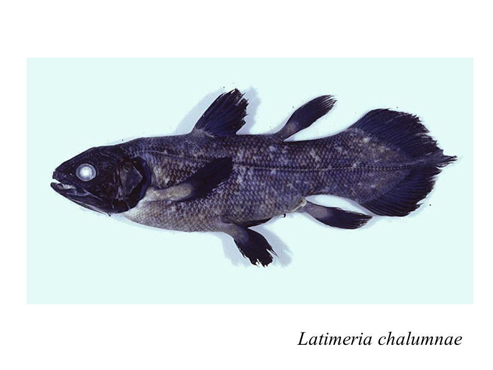 Latimeria chalumnae