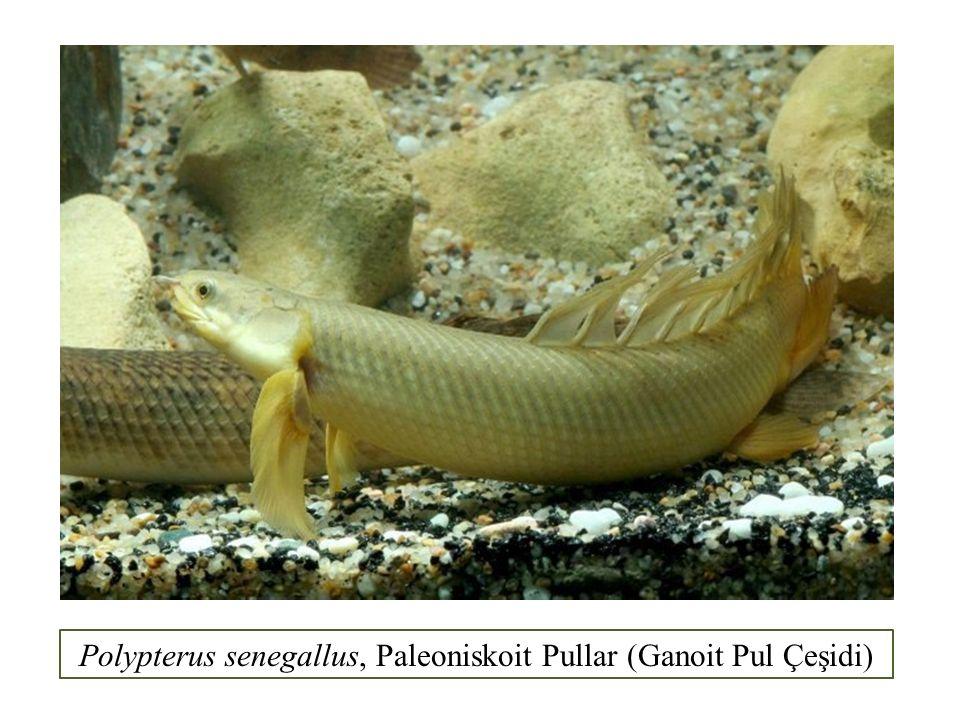 Polypterus senegallus, Paleoniskoit Pullar (Ganoit Pul Çeşidi)