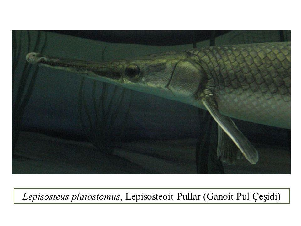 Lepisosteus platostomus, Lepisosteoit Pullar (Ganoit Pul Çeşidi)
